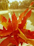 Maple leaf,autumn,red leaf Royalty Free Stock Photo