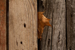 Maple leaf. Autumn maple leaf stuck between the planks of the old wooden fence Royalty Free Stock Photography
