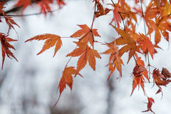 Maple leaf autumn tree blurred background Stock Photography