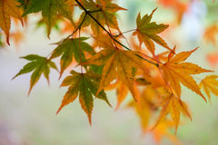 Maple leaf autumn tree blurred background Stock Photos