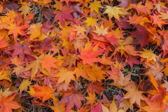Maple Leaf in Autumn. Maple Leaf in Autumn and winter stock photography