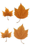 Maple leaf Royalty Free Stock Photos