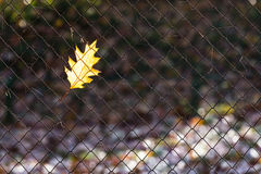 Maple leaf in autumn Stock Image
