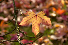 Maple Leaf autumnal background Royalty Free Stock Photography