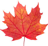 Maple leaf. Autumnal colorful maple leaves isolated Stock Images