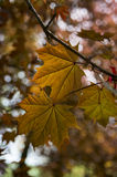 Maple Leaf. Autumnal ornament, red leaves of maple Royalty Free Stock Image
