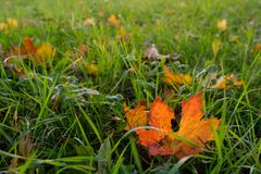 Maple leaf in back lit with autumn coloring Royalty Free Stock Images