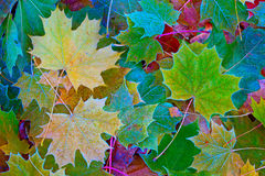 Maple leaf background Stock Images