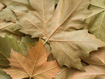Maple leaf background. Leaves at fall Royalty Free Stock Photography