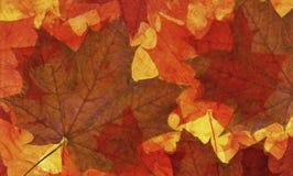 Maple leaf background Stock Image