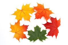 Maple leaf background Stock Images