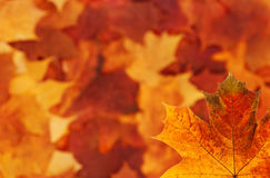 Maple leaf background Royalty Free Stock Photo