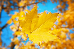 Maple leaf on a background of blue sky. Yellow maple leaf on a background of blue sky Royalty Free Stock Photography