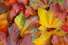 Maple leaf background Royalty Free Stock Photography