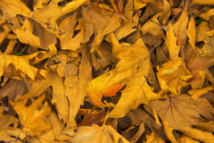 Maple leaf background. Dry maple leaf background texture Royalty Free Stock Images