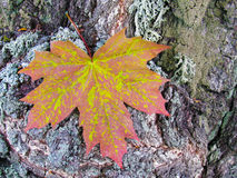 Maple leaf. On a background of tree bark Stock Images