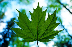 Maple leaf. On the background of trees and sky Stock Photos