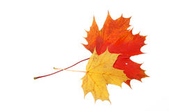 Maple leaf Stock Photography