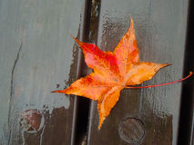 Maple Leaf. Beautiful Maple Leaf after a downpour Royalty Free Stock Image