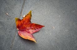 Maple leaf fallen on sidewalk. Maple leaf with beautiful shades of red and orange autumn season royalty free stock photos