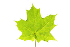 Maple leaf. Beautifully rayed on a white background royalty free stock photography