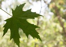 Maple-leaf. Biology climate color drop drops ecological ecology environment flora stock photos