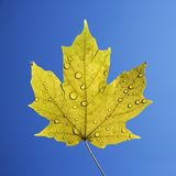 Maple leaf on blue. Stock Images