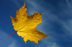 Maple leaf with blue sky. Beautiful maple leaf with blue sky Royalty Free Stock Image
