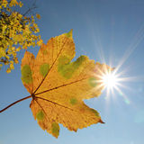 Maple leaf, blue sky and bright sunshine Stock Photography