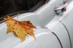 Maple leaf at the body of a classic car. Maple leaf at the body of a rain-wet classic car Stock Image