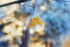 Maple leaf on a branch covered with hoarfrost, frost or rime in winter day. Against sunset background Royalty Free Stock Image