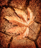 Maple leaf on brick wall Stock Image