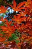 Maple leaf Royalty Free Stock Image
