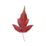 Maple leaf. Bright vinous maple leaf closeup Stock Photography