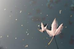 Maple Leaf Buddies Royalty Free Stock Image