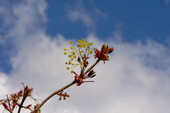 Maple leaf buds and flowers - Acer Royalty Free Stock Photo