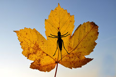 Maple leaf with bush cricket Stock Images