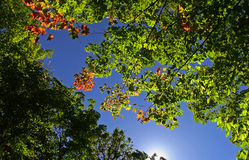 Maple Leaf Canopy Royalty Free Stock Photography