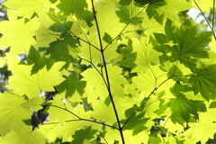 Maple Leaf Canvas Stock Images