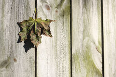 Maple leaf caught in wooden fence Stock Photo