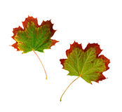 Maple leaf changing color in fall Stock Photos