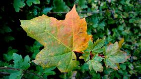 Maple Leaf changing. This is a Maple Leaf changing color in the Fall in Norway one beautiful day Royalty Free Stock Images