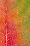 Maple leaf changing colors in autumn - macro Stock Photo