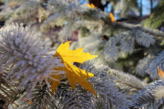 Maple leaf in Christmas tree shining brightly. A bright yellow maple leaf stuck in the branches of a frost-covered Christmas tree at a sunny day in winter. Fall Royalty Free Stock Image