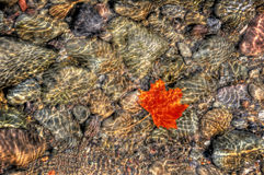 Maple Leaf in clear water Royalty Free Stock Image