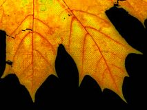 Maple leaf close-up. Close-up of autumn maple leaf part. Black background Royalty Free Stock Images