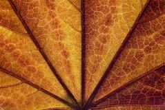 Maple leaf close up Royalty Free Stock Photos