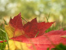 Maple leaf close-up Stock Images