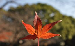 Maple leaf. Close-up of maple autumn leaf royalty free stock photos