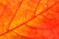 Maple leaf close up background Royalty Free Stock Photos